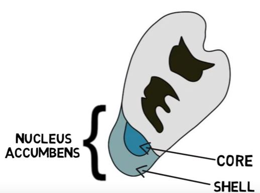 Nucleus-Accumbens-Shell and Core